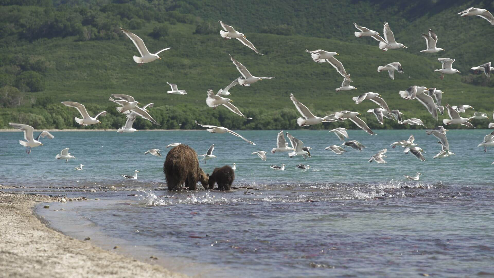 Pelicam Urșii din Kamchatka