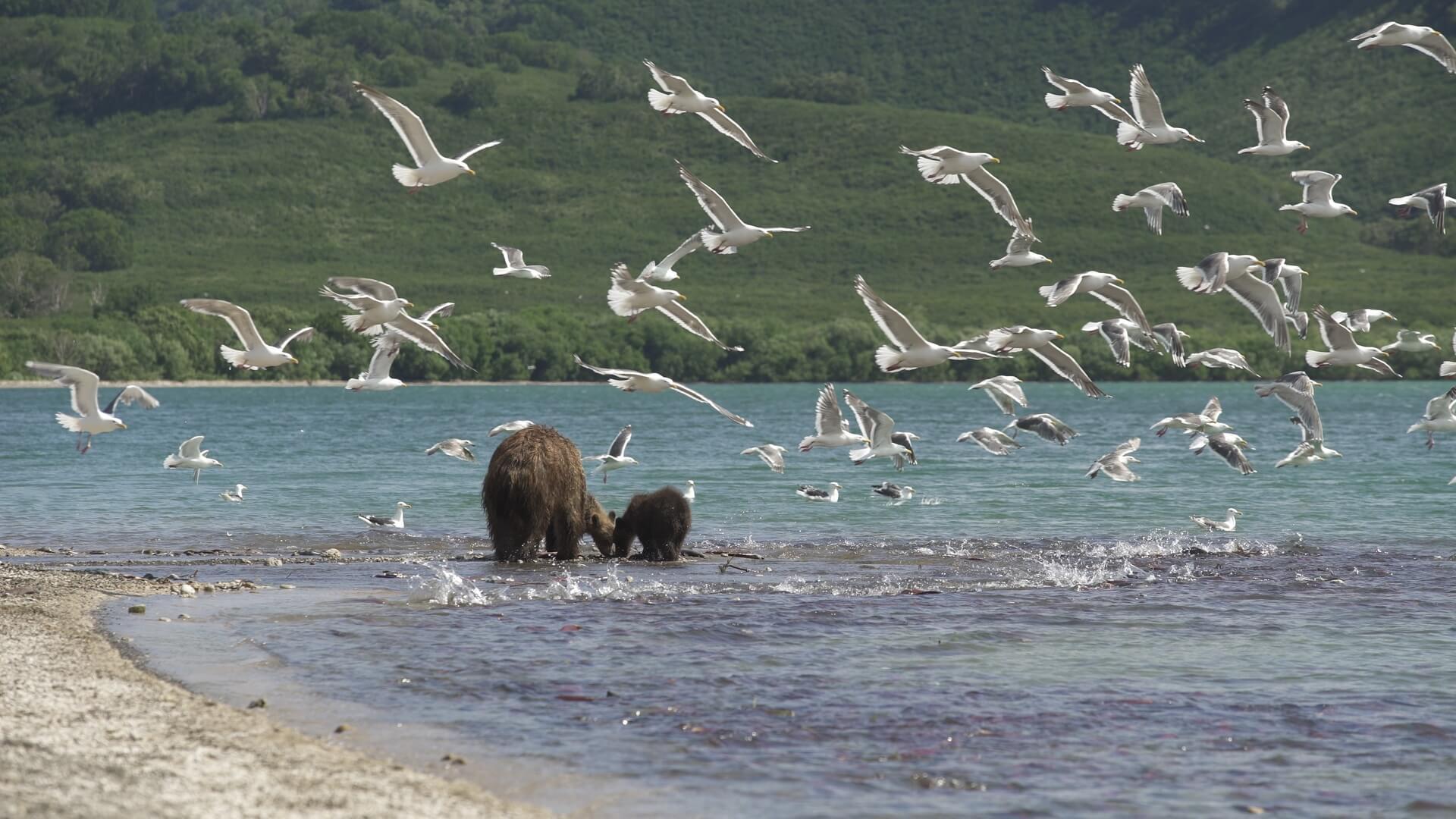 Urșii din Kamchatka